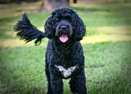 Do Newfoundlands Shed Hair by Everything About Your Portuguese Water Dog Luv My Dogs