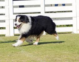 Small Non Shedding Dogs Australia by Do You Know Numerous Types Of Strong And Sturdy Shepherd Dogs