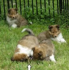 Sheltie Shedding Puppy Coat by Texas Sheltie Breeders Sheltie Pups Shetland Sheepdog Puppy