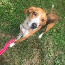 Do Treeing Walker Coonhounds Shed by Orange County Virginia Animal Shelter Home Facebook