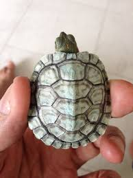 Turtle Shell Not Shedding Properly by Res Shell Is All White Big Pond Turtle Forum