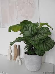 zimmerpflanze calathea orbifolia ohne übertopf calathea orbifolia grün 17x40