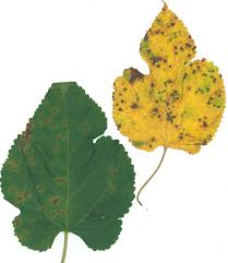 Leaf Spot Of Mulberry