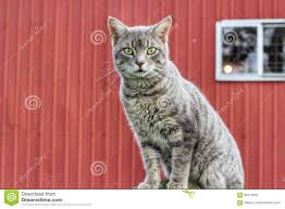Grey Barn Cat Stock Photo. Image Of Window, Country, Feline - 90713952 Ferals Strays And Barn Cats Cat Tales Tuesdays Fun And Aww My Moms Is Gorgeous Viralspell The Care Feeding Of Timber Creek Farm Program Buddies Seeking Support For Its Catsaving Efforts Adoption Barn Cats Near Bardstown Ky Petfinder For Green Rodent Control Turn To Barn Cats The Flying Farmers Free Images Wood Old Animal Cute Wall Pet Rural Sitting On Top Of Bales Straw Ready To Pounce Stock Weve Got Hire Central Missouri Humane Society By Jsf1 On Deviantart