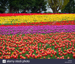 skagit county wa fields of colorful tulips blooming near mount
