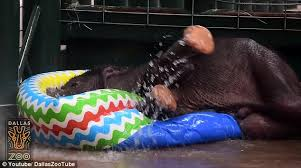 The Calf Pictured In His Kiddie Pool Was Born On May 14 To Mother