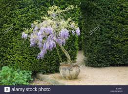 planting wisteria in a pot house garden wiltshire uk early summer small wisteria