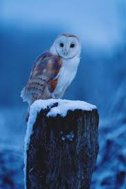 149 Best Animals ~ Owls 2 Images On Pinterest | Barn Owls, Snowy ... 382 Best Barn Owls Images On Pinterest Barn Owl Photos And Beautiful My Sisters Favorite It Used To Be Mine Pin By Hans De Graaf Uilen Bird Animal Totem Native American Zodiac Signs Birth Symbolism Meaning Dreams Spirit 1861 Snowy Saw Whets 741 Owls Birds 149 Animals 2 Snowy Owl Necklace Ceramic Pendant The Goddess Touch Animism Youtube Pole Trollgirl Deviantart