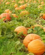 Pumpkin Picking Riverhead by Pumpkin Picking