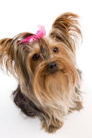 what would make a yorkie shed its fur pets