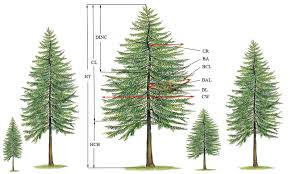 The Sketch Map Of Tree And Branch Variables HT Is Height CL