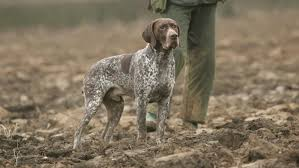 Springer Spaniel Shed Hunting by Hunting Dogs Breeds List Dog Breeds Puppies Top Hunting Dogs Breeds