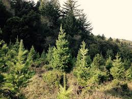 Starting A Christmas Tree Farm In Maine