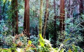 California Redwood Forest Wallpaper Forests Of High Resolution Desktop By Wallpapers Tumblr For Computer