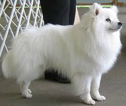 Toy American Eskimo Dog Shedding by Standard American Eskimo Dog Breeds And Photos And Videos List