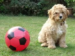 do cavapoos shed a lot all about cavapoos poundlane cavalier king charles spaniels and
