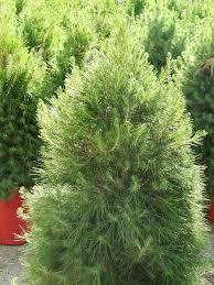 Christmas Tree Species For by Try A Dual Purpose Tree This Christmas San Antonio Express News