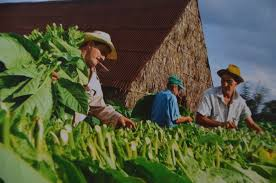 Benito And His Workers Cutting The Tobacco Leaves To Hang Them In Barn For