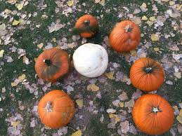 Fargo Moorhead Pumpkin Patches by Papa U0027s Pumpkin Patch And Papa U0027s Polar Patch Home Facebook
