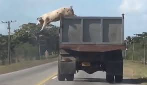 Daring Pig Jumps From Moving Truck On Its Way To Slaughterhouse ... Toms Bbq Pig Rig Phoenix Food Trucks Roaming Hunger Our Second Food Truck Is Complete The Red Truffle A High Farmer John Pig Transport From Colorado To California 3104 Benjamin Radigan Elegant Truck Transport Semi Trailer Suppliers And Out Pigouttruckiowa Twitter Hauling Thousands Of Pigs Overturns On I40 Blocking Lanes Dog 96000 Prestige Custom Manufacturer Proper Smokehouse Inspired By Owners Vacation Pig Food Truck Its Seattle I Must Go Jolly Baltimore Sun