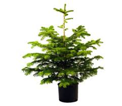Potted Christmas Tree by Christmas Carol Cantrell Spiritual Musings