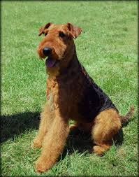 Airedale Terrier Non Shedding by 325 Best Welsh And Airedale Terriers Images On Pinterest Welsh