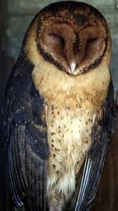 3854 Best Owls Images On Pinterest | Owl Pictures, Owl Photos And ... White Screech Owl Illustration Lachina Bbc Two Autumnwatch Sleepy Barn Owl Yoga Bird Feeder Feast And Barn Wikipedia Attractions In Cornwall Sanctuary Wishart Studios Red Eastern By Ryangallagherart On Deviantart Owlingcom Biology Birding Buddies 2000 Best 2 Especially Images Pinterest Screeching Youtube