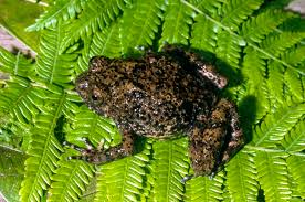 Do Aquatic Dwarf Frogs Shed Their Skin by Meet Madagascar U0027s Newly Discovered Huge Rhombus Frog D Brief