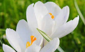 shop white autumn crocus and other seeds at harvesting history