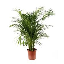 acheter palmier plantes pour la maison jardinerie truffaut