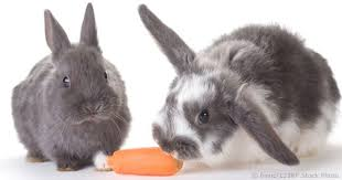 Can Rabbits Eat Roasted Pumpkin Seeds by Feeding Rabbits Vegetables And Fruits