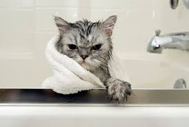 bathing cats do cats need baths purrfect cat breeds
