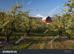 Red Barn Apple Orchard Front Mount Stock Photo 27690034 - Shutterstock Herb Apple Gruyere Scones Now Forager The Best Picking Near Atlanta In Map Form Tennessee Seerville Barn Orchard Winesap Apples 18 Bushel Red Orchards Mt Hood Stock Image 24641381 Orchard Front Mount Photo 27690034 Shutterstock Winery Elkhorn Wi Barnquilt Appleorchard Mapping Georgias In Time For Fall Splendor Experience Autumn At Edwards West