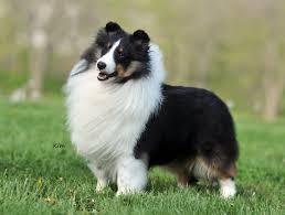 Sheltie Shedding Puppy Coat by 151 Best Shelties Images On Pinterest Sheltie Shetland Sheepdog