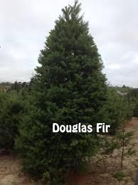 Nordmann Fir Christmas Trees Wholesale by Christmas Trees Xmas Sebastopol San Francisco