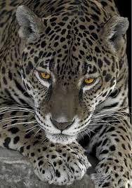 Jaguar Big Cat Diary Pinterest