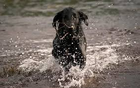 Chesapeake Bay Retriever Vs Lab Shedding by Labrador Retriever Vs Flat Coated Retriever Dog Breed Atlas