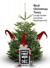 Nordmann Fir Christmas Trees Wholesale by Christmas Trees At Glendoick