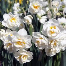narcissus bridal crown plants in my garden