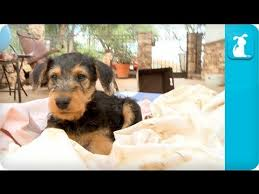 Do Airedale Puppies Shed by Airedale Terriers Puppies Puppy Love Youtube