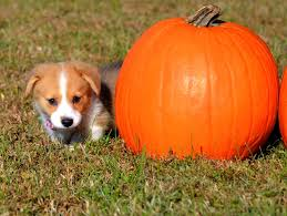 Happs Pumpkin Patch by 280 Best Corgis At Halloween Images On Pinterest Corgis