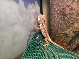 hello i m a new bearded dragon owner bearded dragon org