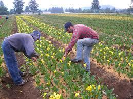 calla bulb farm