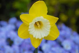 daffodil green garden dutchgrown