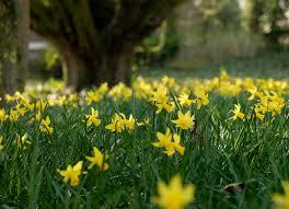 daffodil february gold quality flower bulbs youtulip co uk