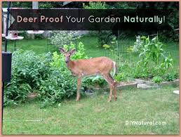 Deer Proof Your Garden And Yard Naturally How To Get Rid Of Skunks From Under A Shed Youtube Rabbits Identify And Rid Garden Pest Of And Prevent Infestation With Professional Skunk In Backyard Outdoor Goods To Your Yard Quick Ideas Image Beasts Diggings Droppings Moles Telegraph Mole Removal Skunk Control Treatments Repellent For The Home Yard Garden Odor What Really Works Pics On Extraordinary Affordable Wildlife Control Toronto Raccoon Squirrel Awesome A Wliinc