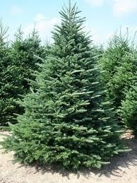 50 Fraser Fir Tree Seeds Abies Fraseri