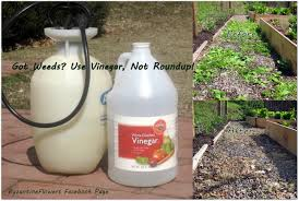 Got Weeds Use Vinegar Not Roundup