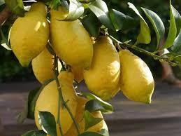 wann trägt ein zitronenbaum früchte
