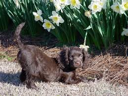 Springer Spaniel Shed Hunting by American Water Spaniel